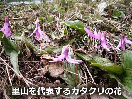 里山を代表するカタクリの花